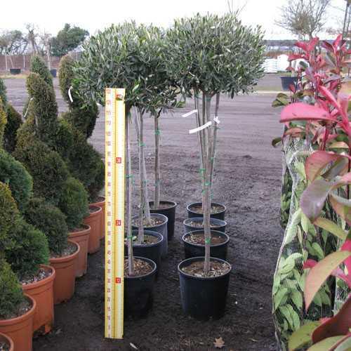 Olea Europaea Cipressino (Olive Tree) 1/2 Standard 18 Litre Pot