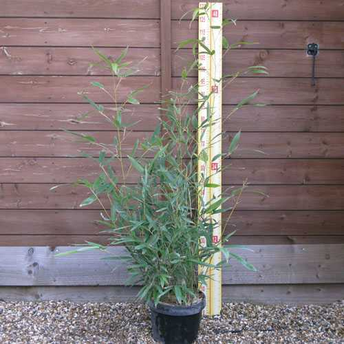 Phyllostachys aurea fishpole bamboo 3 5 litre pot for Phyllostachys aurea en pot