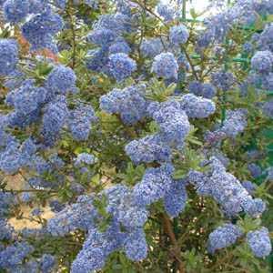 Ceanothus Italian Skies (Californian Lilac) 3 Ltr 90cm cane
