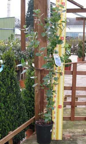 Ceanothus Trewithen Blue (Californian Lilac) 3 Ltr 90cm cane