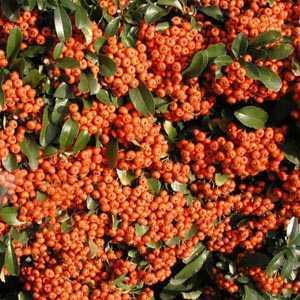 Pyracantha Saphyr Orange (Firethorn) Hedging Plant 3 Ltr