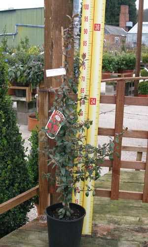 Pyracantha Red Column (Firethorn)