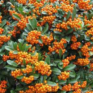 Buy Cheap Hedging Plants Online Cheap Pyracantha Shrubs