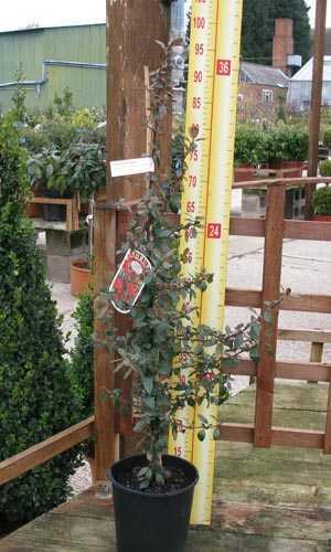 Pyracantha Saphyr Red (Firethorn) Hedging Plant 3 Ltr