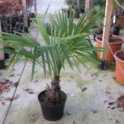 Trachycarpus fortunei (Chusan Palm Tree) 10 Litre Pot