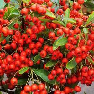 Pyracantha Darts Red (Firethorn) Hedging Plant
