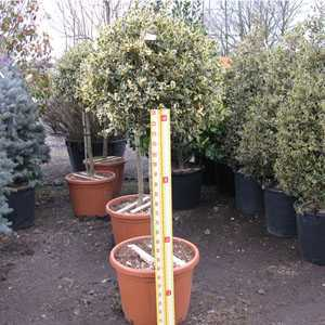 Ilex aquifolium Argentea Variegata (Silver Variegated English Holly) 1/2 Standard 45 Litre Pot