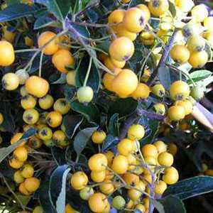 Pyracantha Saphyr Yellow Trellis Climber (Firethorn) Hedging Plant 20 Ltr