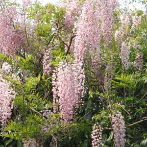 Mature wisteria plants for sale