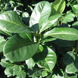 Prunus Laurocerasus Etna (Laurel) Hedging 3.5 Ltr