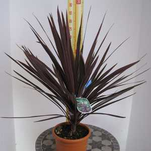 Cordyline Australis Red Star (Cabbage Tree)