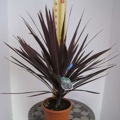 Cordyline Australis Red Star (Cabbage Tree) 60-80cm Height 4 Litre Pot