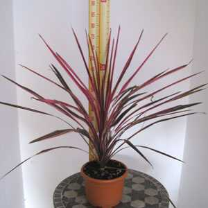 Cordyline Australis Southern Splendour (Cabbage Tree) 60-80cm Height 4 Litre Pot
