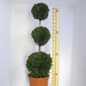 Cupressocyparis Leylandii Castlewellan Gold (Triple Ball Conifer) 110cm 12 Litre Pot