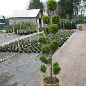 Cupressocyparis Leylandii Green - Pon Pon 160cm Height 22 Litre Pot