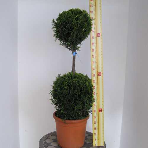 Cupressocyparis Leylandii Castlewellan Gold 2 Balls 80 Height 15 Litre Pot