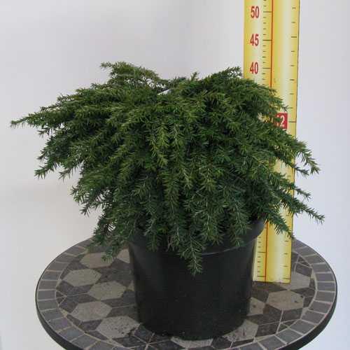 Tsuga Canadensis Jeddeloh 7.5Ltr