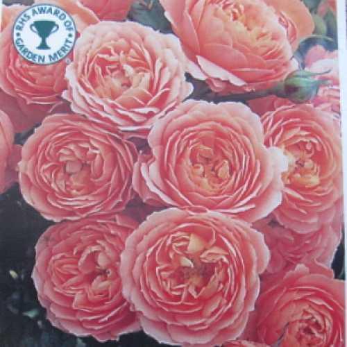 Sweet Dream 1/2 Standard Rose