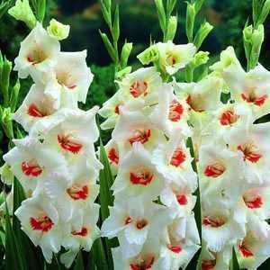 Gladioli Giant Flowering 'Ajax' Bulbs 10 Per Pack