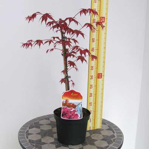 Acer Palmatum Shindeshojo (Japanese Maple)