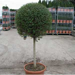 Ligustrum delavayanum Topiary 1/2 Standard Privet 60-80cm Head