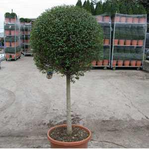 Ligustrum delavayanum Topiary 1/2 Standard Privet 60-80cm Head