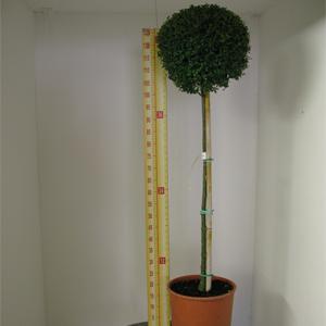 Ligustrum delavayanum Topiary (privet) 1/2 standard  10 Litre Pot
