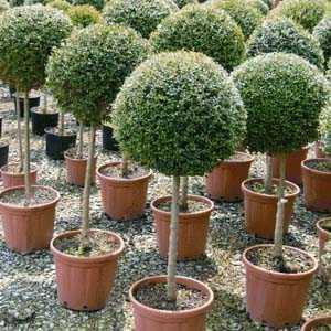 Ligustrum delavayanum Topiary (Privet) 1/4 Standard 35cm+ 18Litre Pot