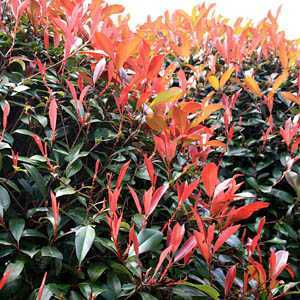 Photinia x Fraseri 'Little Red Robin' Shrub 7.5 Litre Pot