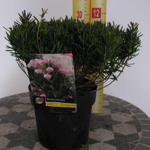 Andromeda Polifolia Compacta (Pink Bog Rosemary)