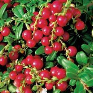 Vaccinium Miss Cherry Meliro (Cowberry) 3Ltr