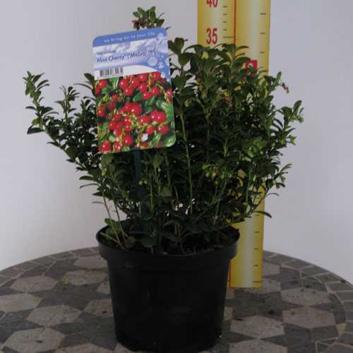 Vaccinium Miss Cherry Meliro (Cowberry) 2Ltr