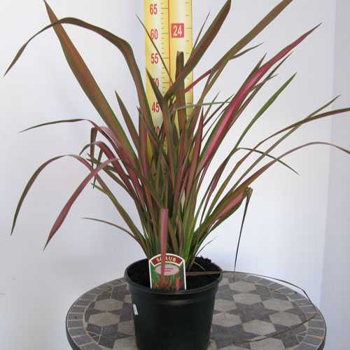 Phormium Jester (New Zealand Flax) 3Ltr