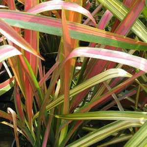 Phormium Jester (New Zealand Flax)