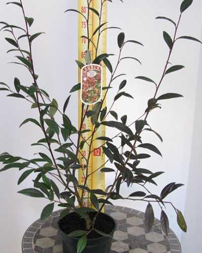 Cotoneaster Frigidus Cornubia 3Ltr