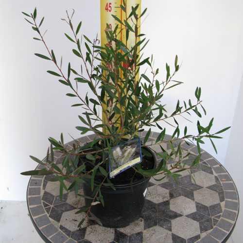 Callistemon Salignus (White/Willow Bottlebrush)