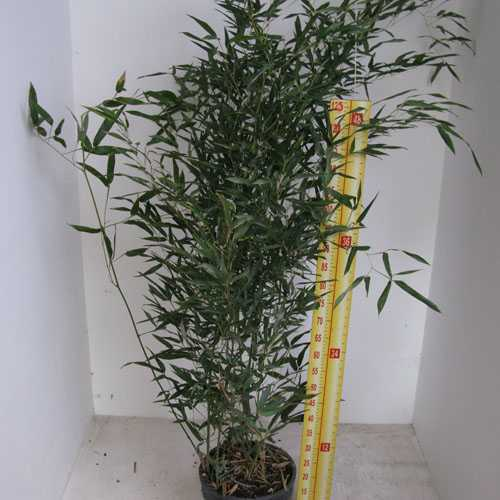 Bambusa Phyllostachys Bissetii 180cm + (Green Variety) Pack of 5