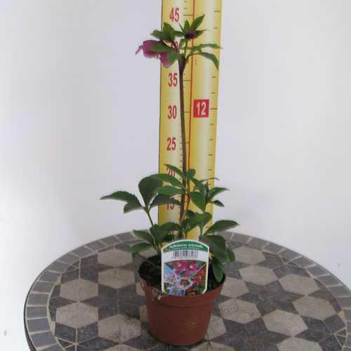 Helleborus Orientalis (Christmas Rose) 13cm Pot