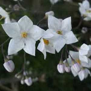 Solanum Jasminoides 'Album' (Potato Vine)