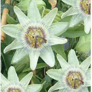 Passiflora 'White Lightening' Trellis Climber 20 litre Pot (Passion Flower)