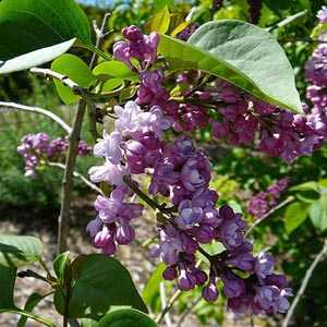 Syringa Vulgaris 'Belle Nancy' Lilac 5 Ltr