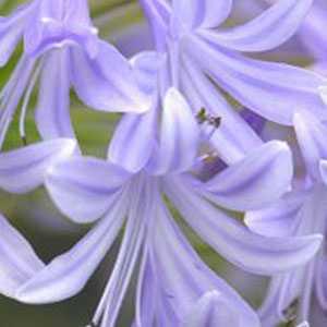 Agapanthus Lavender Haze 3 Litre Pot