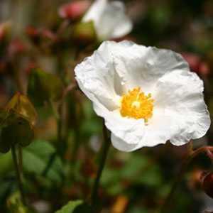 Cistus Corbariensis (Rock Rose)