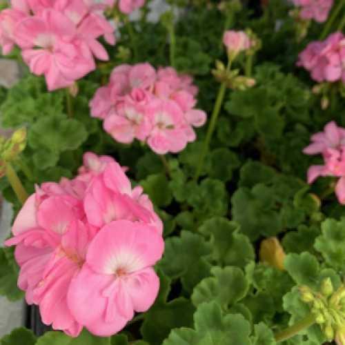 Geranium Potted Light Pink (Summer Bedding) 10.5cm Pot 15 Per Box