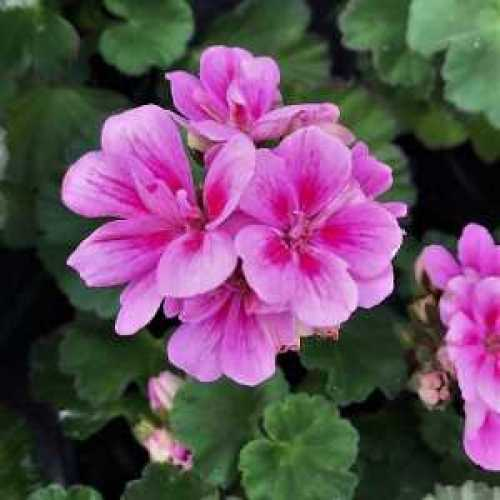 Geranium Potted Light Pink 10.5cm Pot (Summer Bedding) Box of 15 Plants