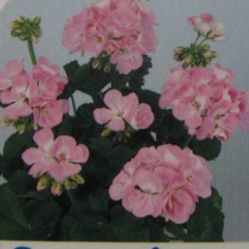 Geranium Potted Light Pink 10.5cm Pot (Summer Bedding) Box of 15 Plants
