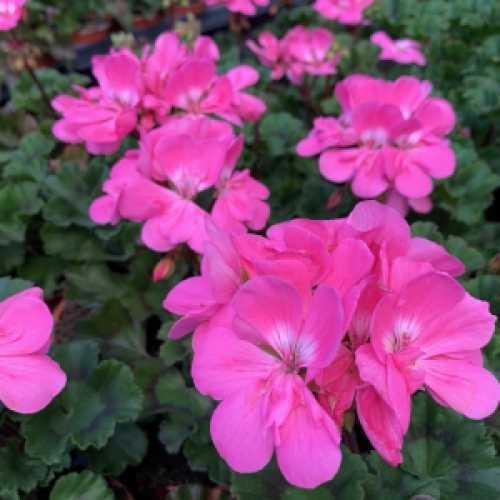 Geranium Potted Bright Pink (Summer Bedding) 10.5cm Pot 15 Per Box