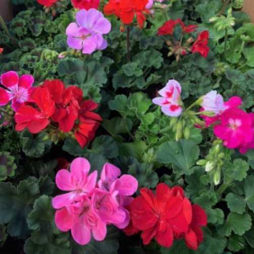 Geranium Potted Mixed Colours (Summer Bedding) 10.5cm Pot 15 Per Box