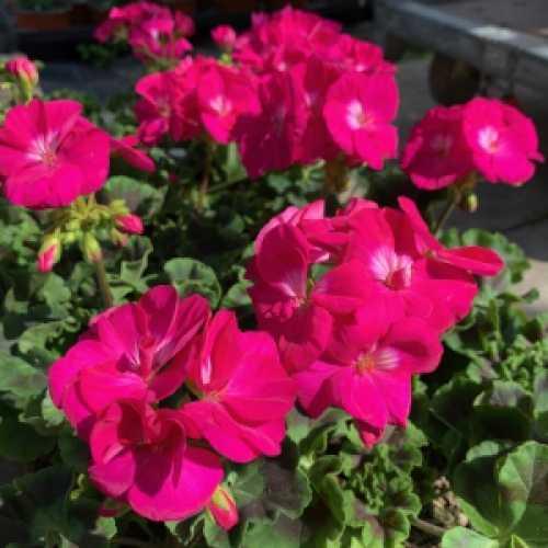 Geranium Potted Cerise Pink (Summer Bedding) 10.5cm Pot Box of 15 Plants