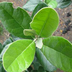 Feijoa sellowiana (Pineapple guava)